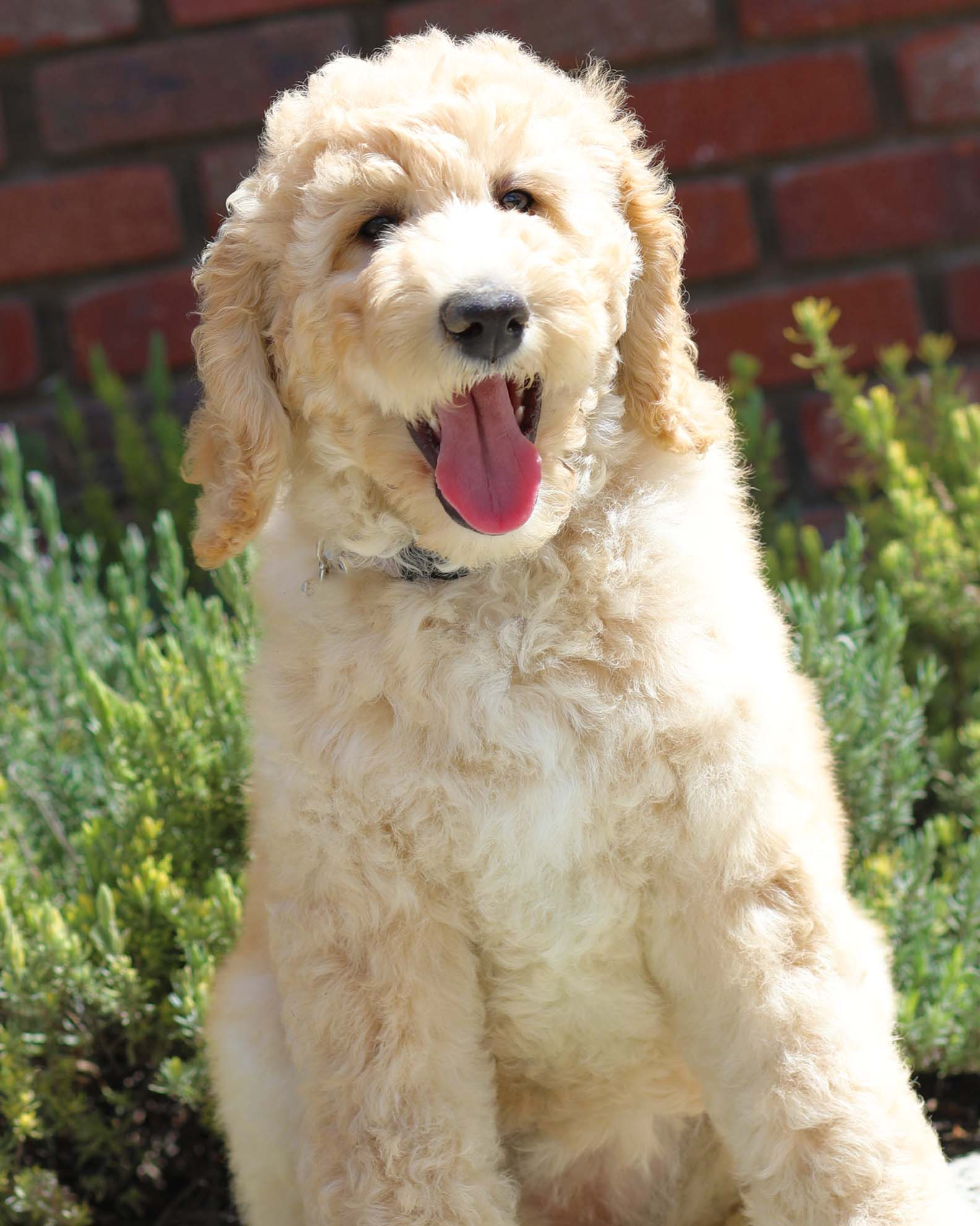 Adult Dogs Offered For Sale Country Labradoodles