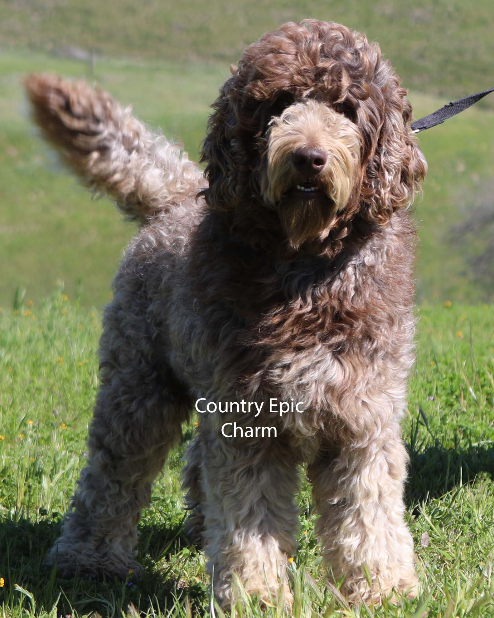 Adult Dogs Offered For Sale | Country Labradoodles